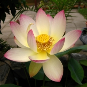 Nelumbo 'Pink N Yellow'